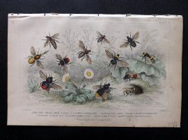 Goldsmith 1853 Antique Hand Col Print. Bees